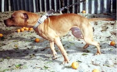 online pedigrees 105620 kalabrias rambo