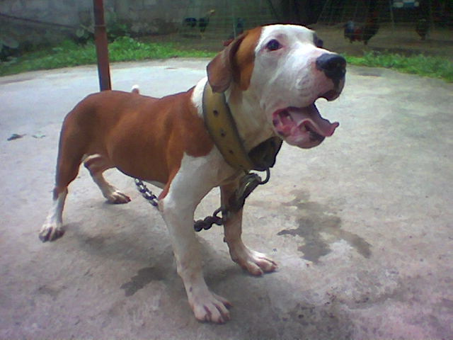 ONLINE PEDIGREES :: [111949] :: JOINT FORCES KENNEL'S ZEKE