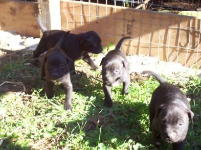 ONLINE PEDIGREES :: [170048] :: Carolina Game Dogs Ch