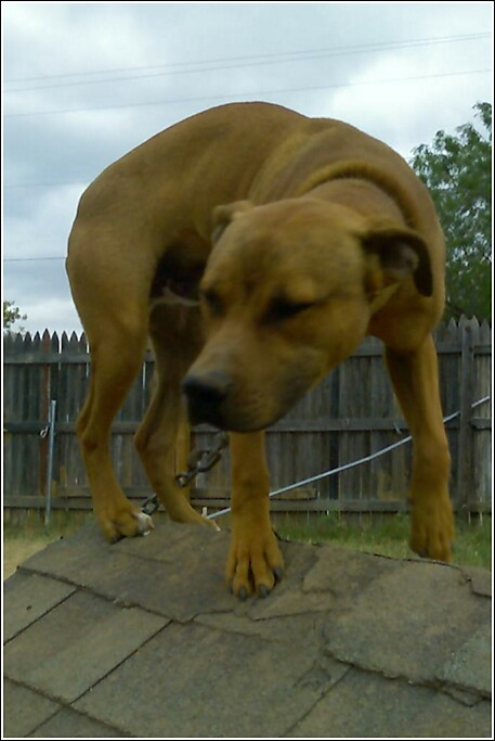 Nigerino dogs | Game Dog Forum