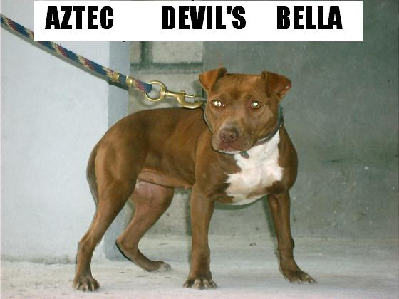 Pedigree Database: AZTEC DEVIL'S (DESTROYER KENNEL)'S BELLA