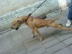 ONLINE PEDIGREES :: [492902] :: 'S (YACUZA'S) INDIAN BOLIO JR