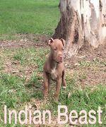ONLINE PEDIGREES :: [601141] :: TAURUS' INDIA BEAST